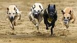 Ставки на собачьи бега и система М.